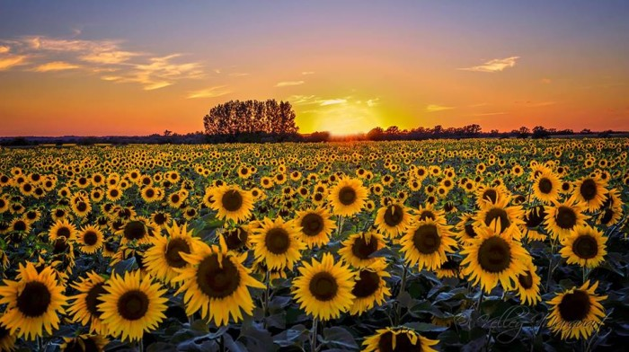 19. This beautiful sunflower field is just calling out for a film crew.