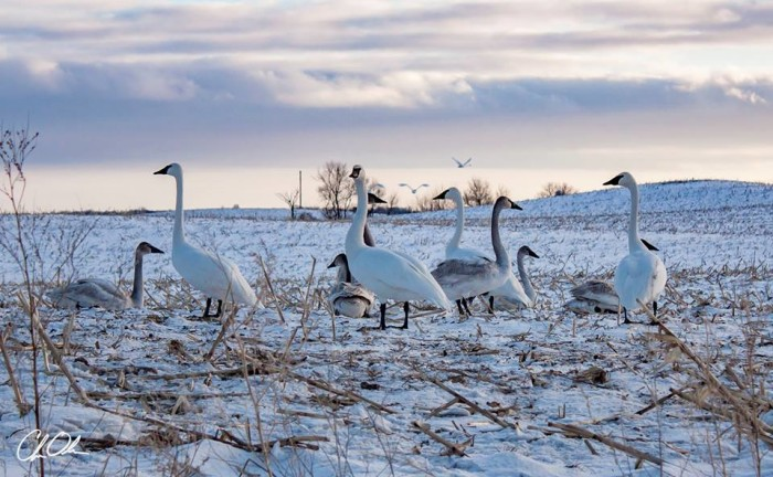 12. These swans just north of Fergus Falls can outshine any nature documentary star.
