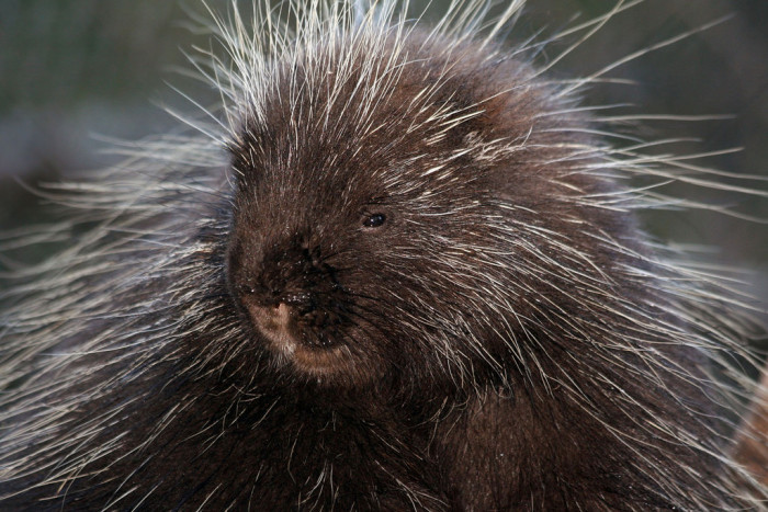 3. A sleepy-looking North American Porcupine.