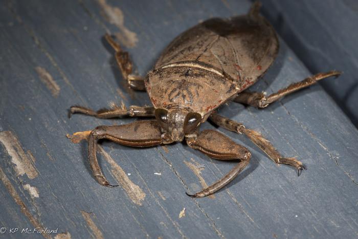 3.  Giant Water Bug