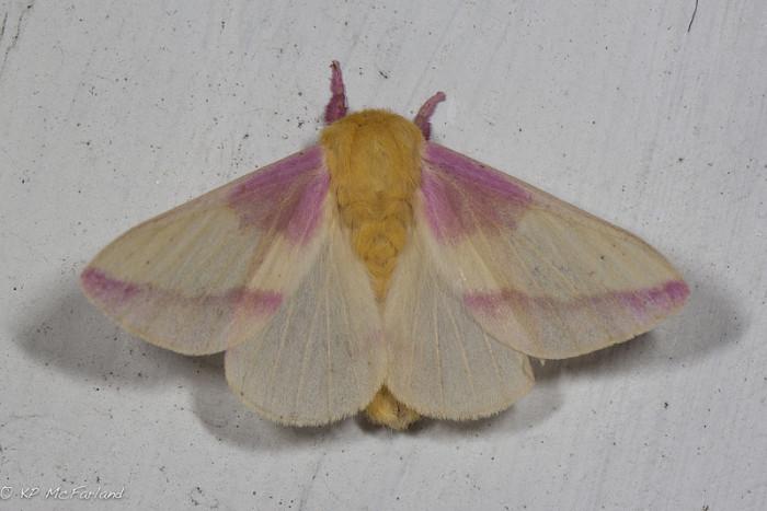 10.  Rosy Maple Moth