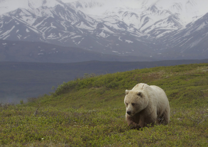 3) A grizzly moving across the Alaskan tundra.