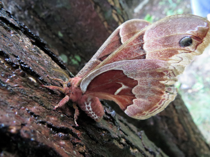 5. The Promethea Moth.
