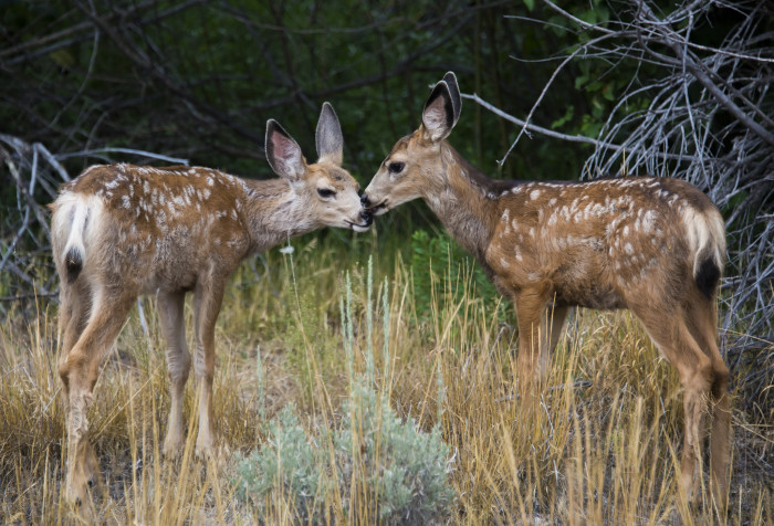 4. These adorable white-tailed fawns sharing a kiss.