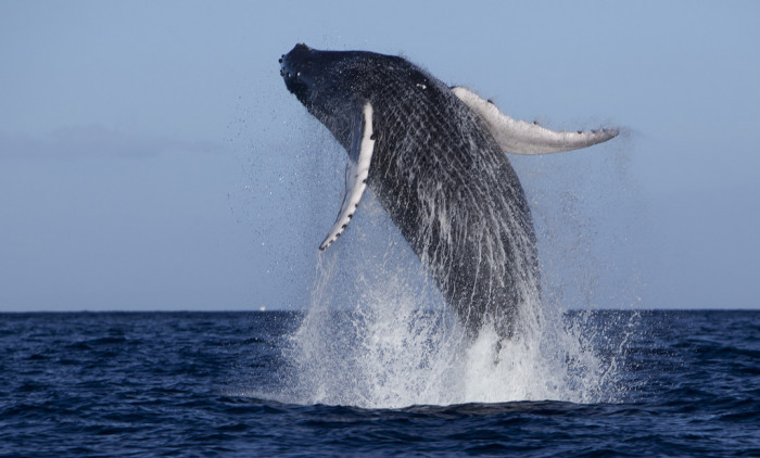 15) Approximately two-thirds of the 10,000 humpback whales that migrate to the north Pacific from January to April make their way to Hawaii.