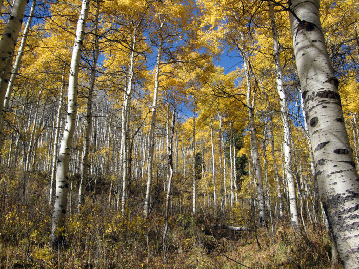 16. As aspen grove in the mountains...