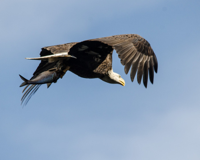 """1) This majestic photo of a bald eagle """"fishing"""" was captured in Darlington. Perfect timing. Simply stunning."""