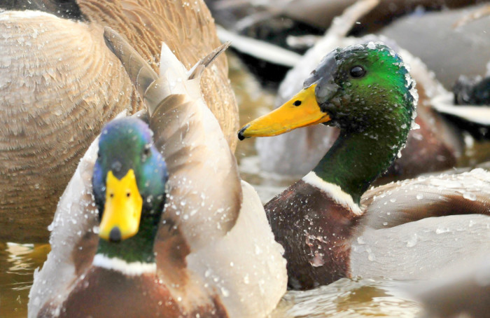 Mallard Drake - wildlife in south dakota