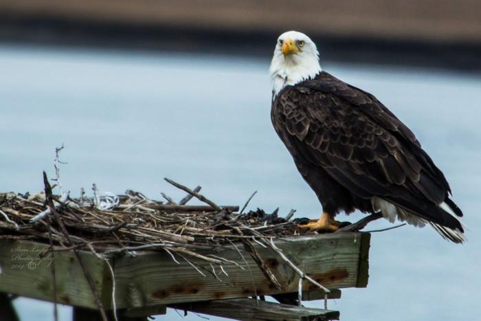 Eagles and Endangered Species