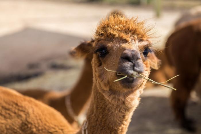 16. A snacking alpaca in Dukes, MA.