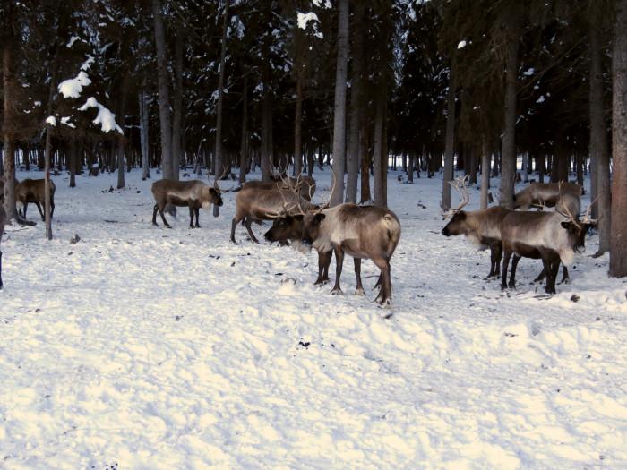2) U.A. Fairbanks Reindeer Farm.