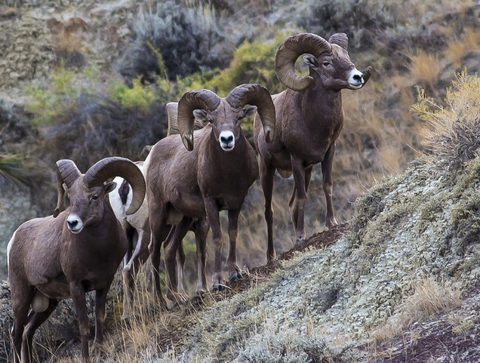Big horn sheep - wildlife in south dakota