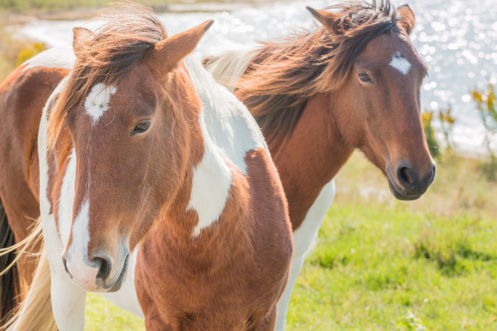 9) These handsome Assateague Island inhabitants demand all things regal with their flowing manes.