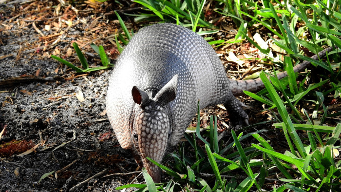 3. Man Shoots an Armadillo, Bullet Hits Mother-In-Law