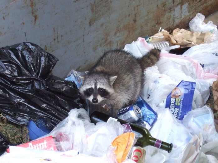 14.  Raccoons and other wild animals will always get into the trash if you leave it outside.