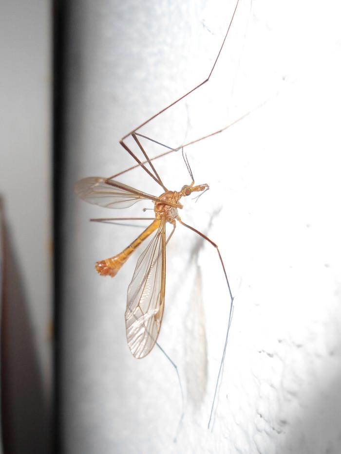 7. Cranefly