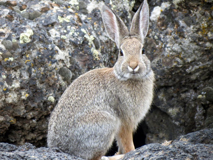 15. This fluffy mountain cottontail is quietly captivated by the camera lens.
