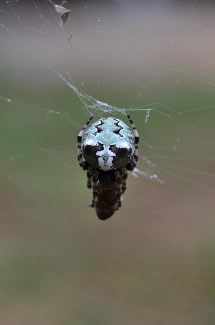 6. Lichen Orb Weaver