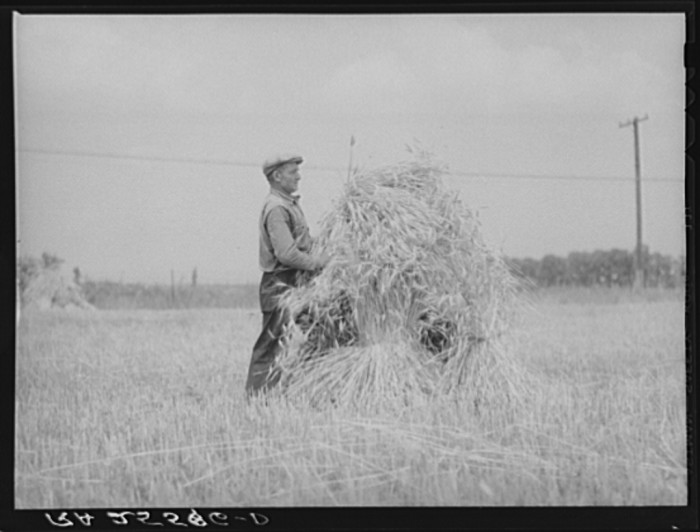 6) This man is harvesting wheat in Queen Anne's County.