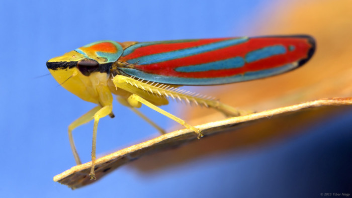 2. Candy Striped Leafhopper