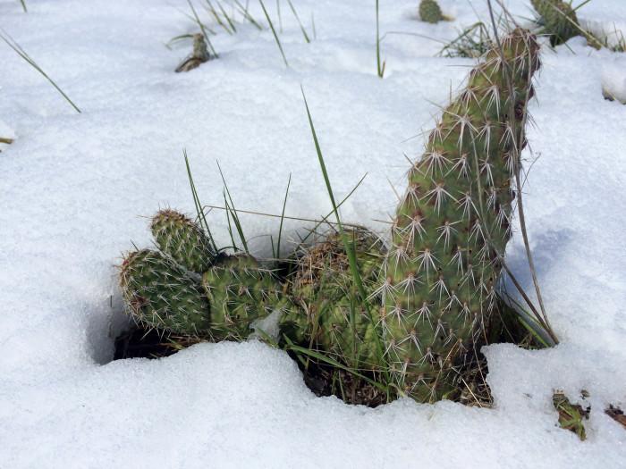 2. Cactus in the snow at Fort Laramie