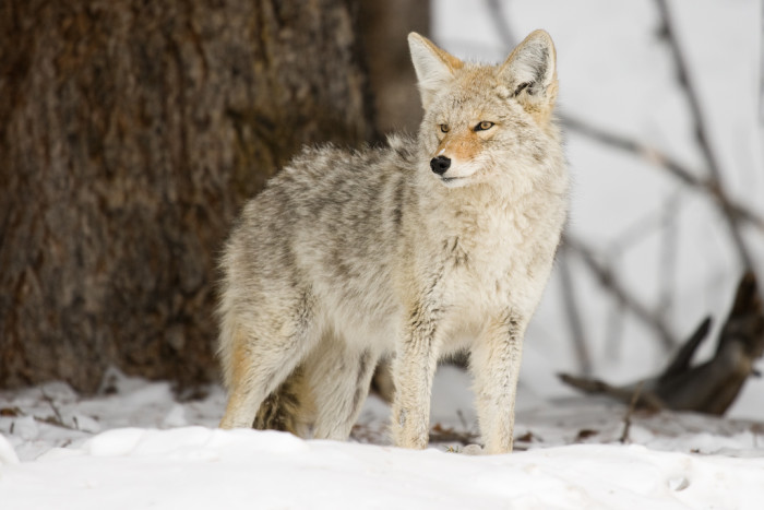 12. Coyote in Yellowstone
