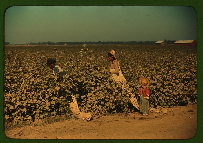 2. Three young day laborers pick cotton in Clarksdale.