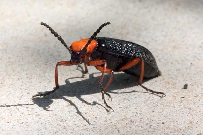 1. Blister Beetles