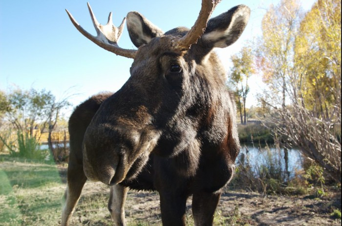 8. This majestic moose speaks for himself.