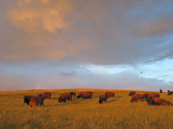1. Bison on the plains