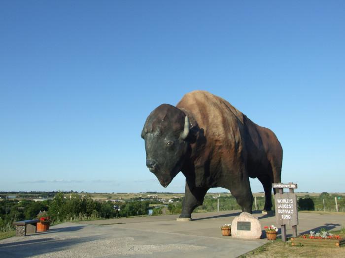 6. Wild bison roam around everywhere.