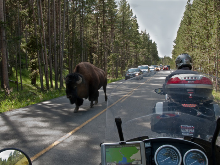 2. Bison in Yellowstone National Park
