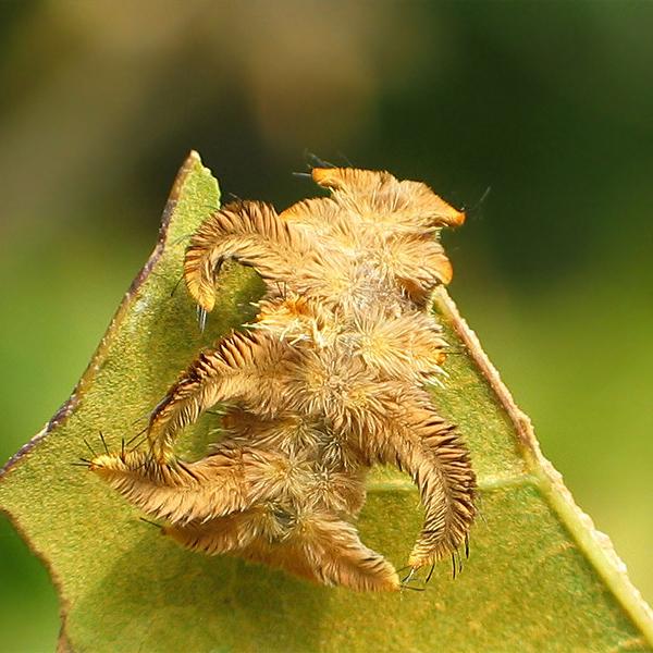 11. Hag Moth