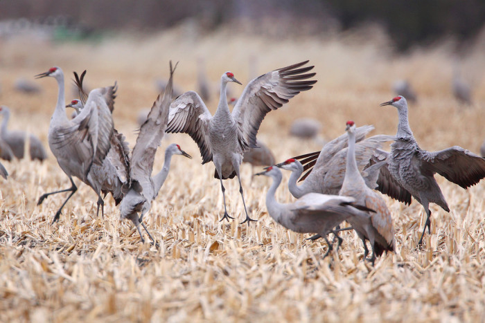 5. Half a million sandhill cranes choose to vacation here every spring.