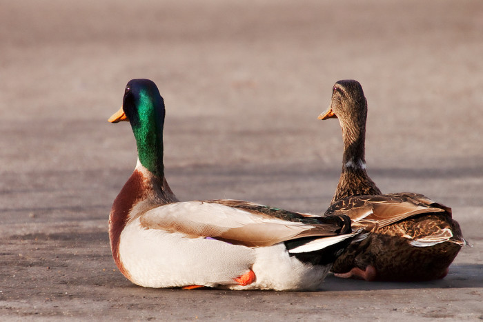 9. These adorable ducks are clearly out on a date.