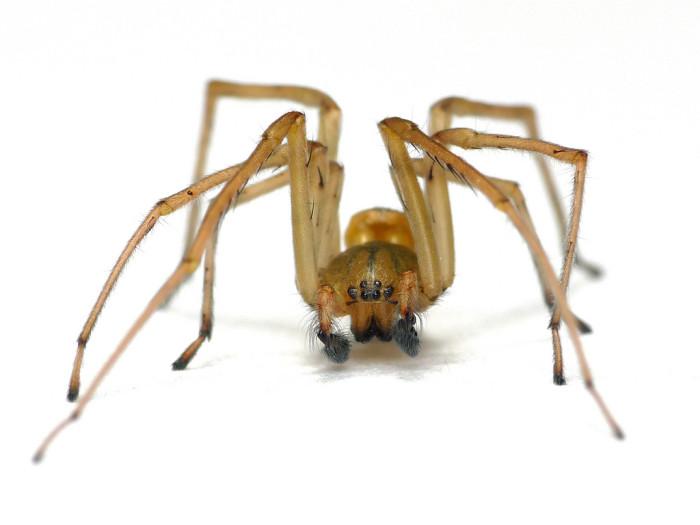 12. Sac Spider