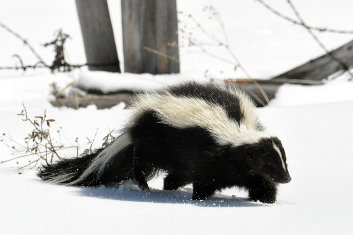 2. An adorable skunk captured from a safe distance in Fremont.