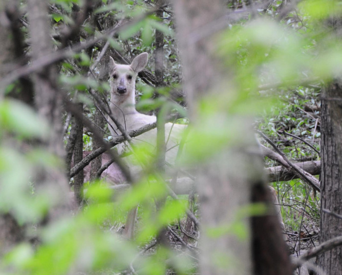 14) This very special all-white deer was photographed at the C&O Canal. Pretty magical.
