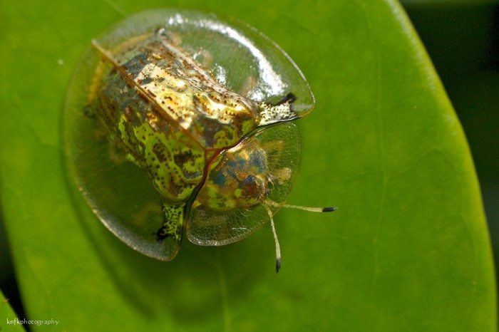 9. Golden Tortoise Beetle
