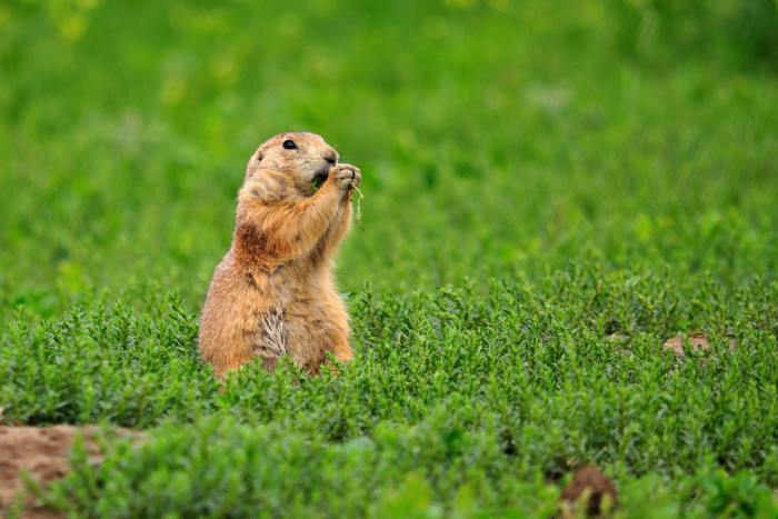 Prairie Dog - wildlife in south dakota