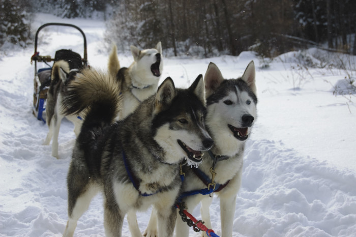 3) Does everyone drive dog sleds?