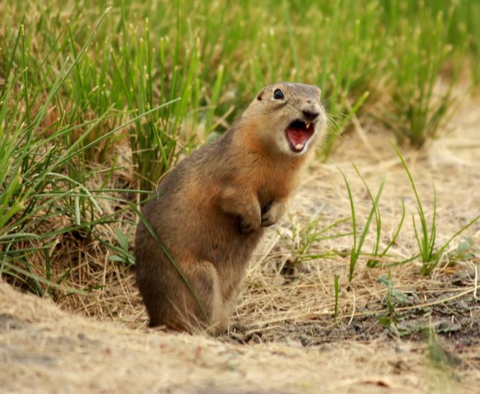 7. Barking Squirrel