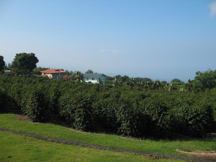 5) Tour a Kona coffee farm on the Big Island.