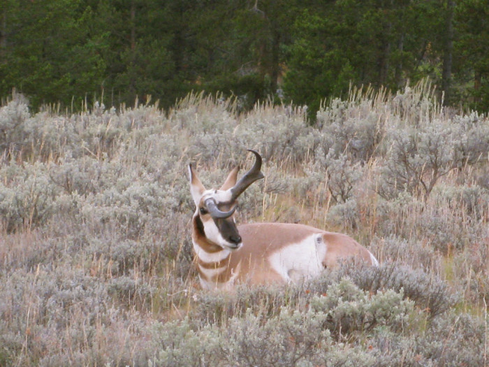 6. Pronghorn with a twisted horn.