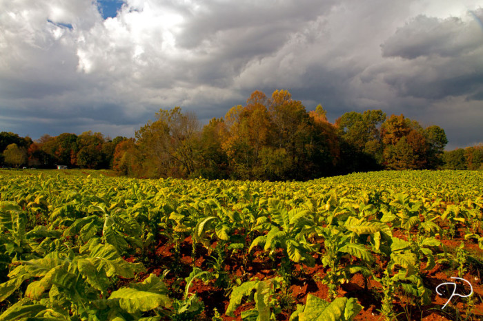7. Tobacco fields forever.
