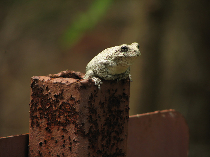 12) This Cope's Gray Tree Frog was seen chilling out in Caroline County.