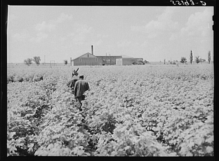 5. In order to fully utilize the rich land of the Delta, it was not uncommon for crops to be planted extremely close to buildings, such as in this photo taken near Clarksdale.