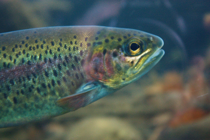 14. Underwater, Idaho's fish are more colorful and vibrant than you realize.