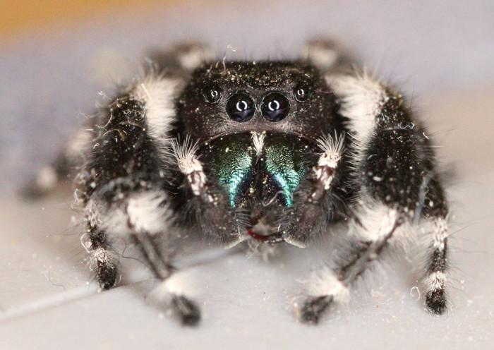 6. Bold Jumping Spider