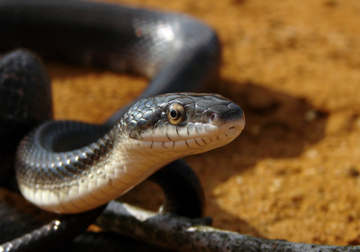 3) This scaly little serpent is a black rat snake. He was spotted on a softball field in Columbia.